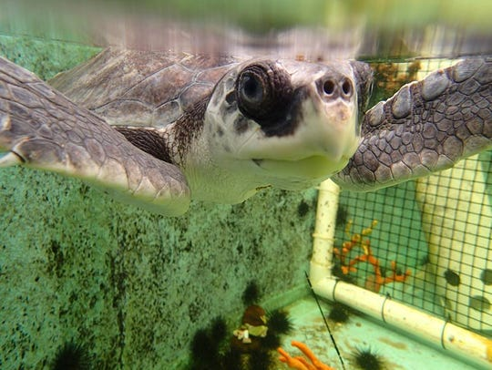 The Gulf Specimen Marine Lab opened a Sea Turtle Hospital