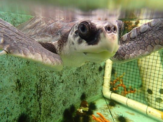 The Gulf Specimen Marine Lab opened a Sea Turtle Hospital