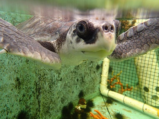 The Gulf Specimen Marine Lab opened a Sea Turtle Hospital earlier this summer, one of its many projects geared towards ocean conservation.