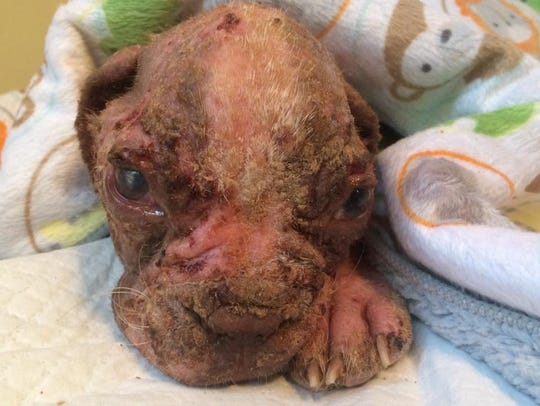 Libre is suffering from mange, emaciation, secondary
