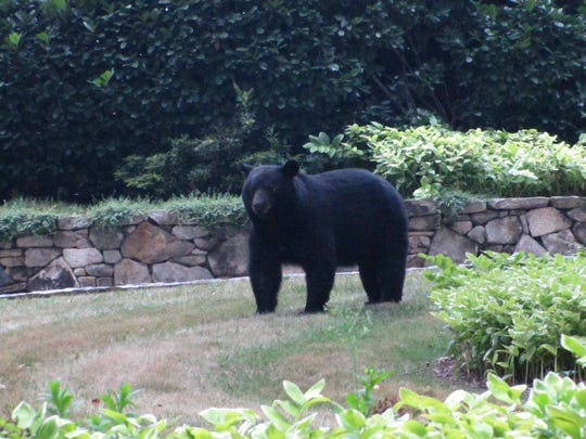 A bear roams through a yard in Biltmore Forest. The town in South Asheville is reporting a higher number of bear sightings than usual this year.