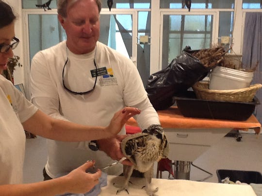 Tim Thompson helps von Arx Wildlife Hospital staff feed one of two osprey chicks before re-nesting them on a channel marker. Thompson rescued them after their nest was blown from the channel marker.