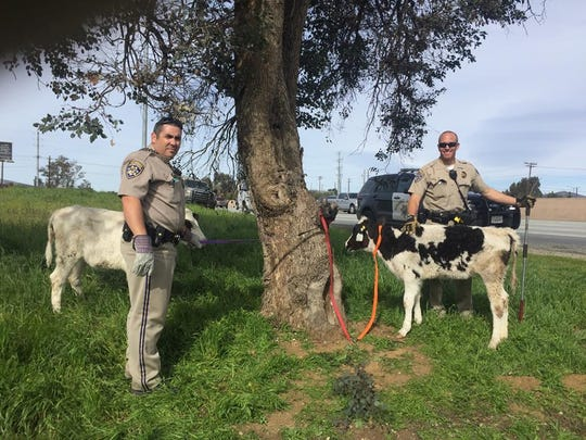 California Highway Patrol officers found two calves being transported in a Honda Civic Saturday in Beaumont. They are looking for the driver.