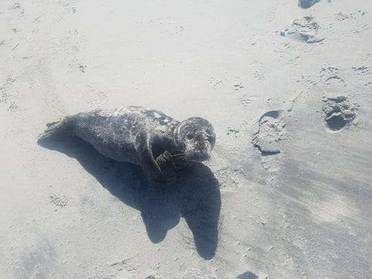 A seal warms up on a New Jersey beach in April 2017.