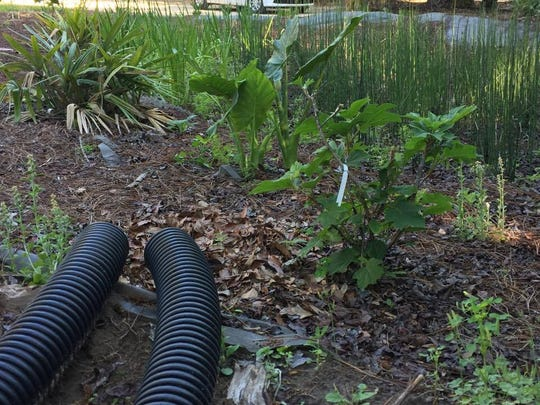 Flexible tubing was buried underground, and directs water from the gutter downspouts into the rain garden.