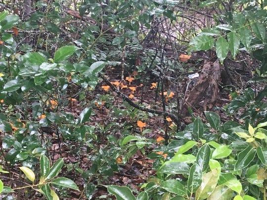 Tallahassee mushrooms growing