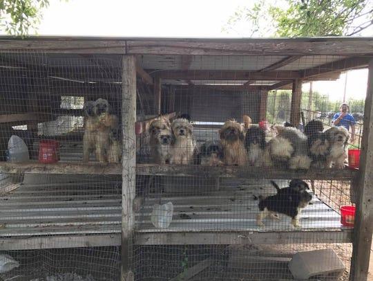 More than a dozen Shih Tzu puppies were living in chicken