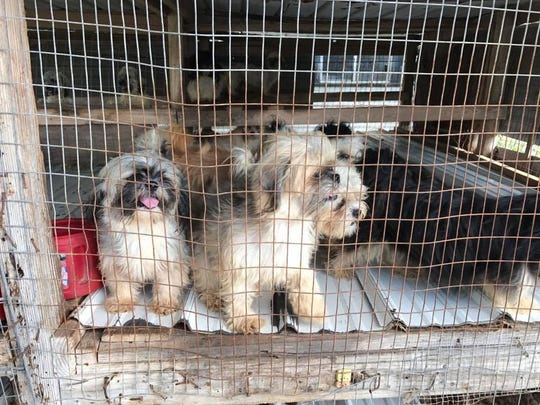 More than a dozen Shih Tzu puppies were living in chicken coops in Ben Bolt. They were rescued by Jim Wells County Sheriff's Officers.