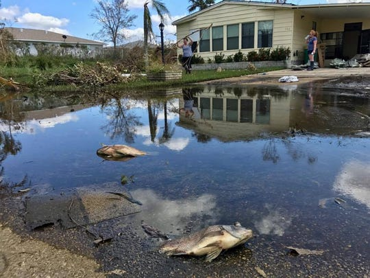 Dead fish from a nearby flooded canal rot in front of the home of Kathy and Joseph Audin in West Wind Estates in East Naples on Sept. 16, 2017. The senior community was hit by Hurricane Irma on Sept. 10, 2017.
