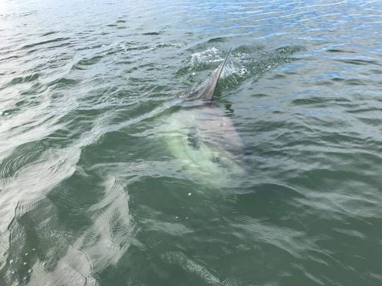 A mola mola, commonly called an ocean sunfish, was spotted in Barnegat Bay Tuesday.