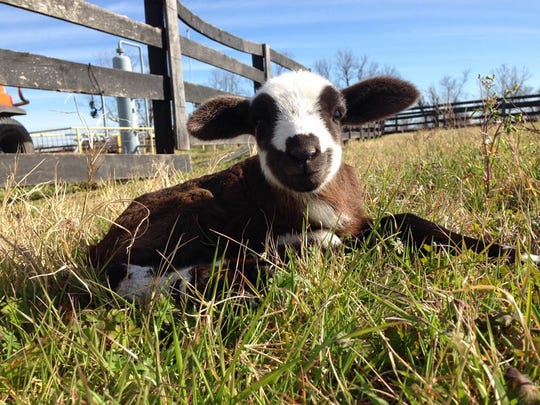 A happy little lamb hanging out at Smith Family Farms.