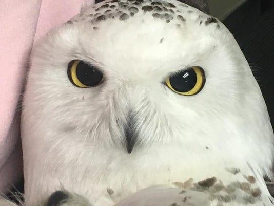 636483302770742267-Snowy-Owl-died-1.jpg