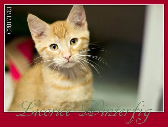Licorice is an adorable domestic short hair kitten