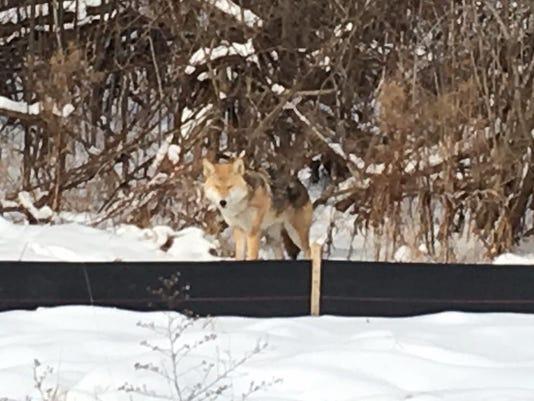636501443251016289-Coyote1.jpg