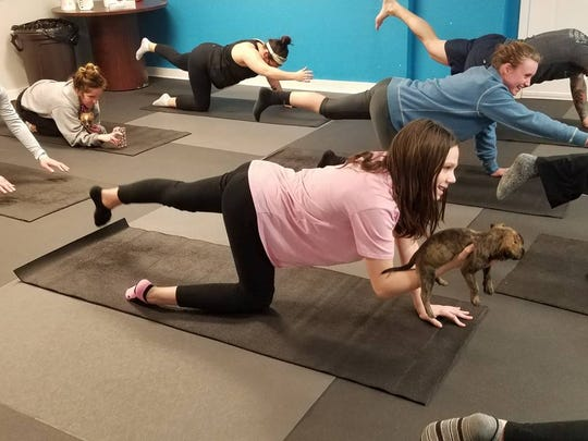 "Class participants in the Humane Society of Tennessee Valley's ""puppy yoga"" classes stretch with furry partners."