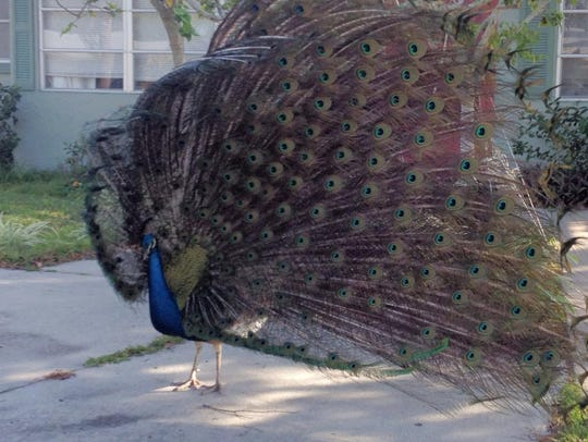 A peacock in the Harbor Heights neighborhood in Cape