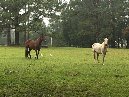 The two horses Corine Samwel uses for equine psychotherapy.