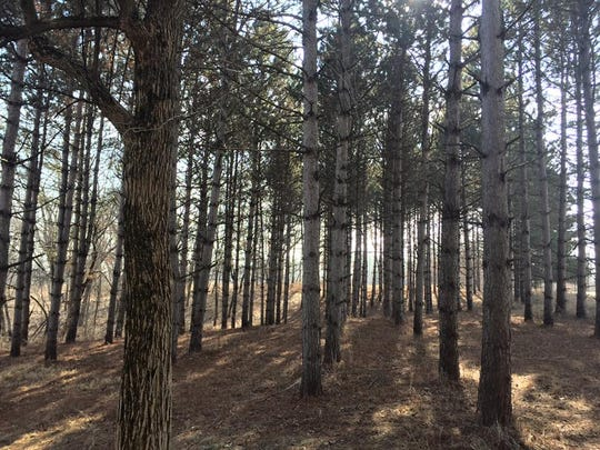 A collection of pine trees are shown inside F.W. Kent County Park on Feb. 6, 2017.