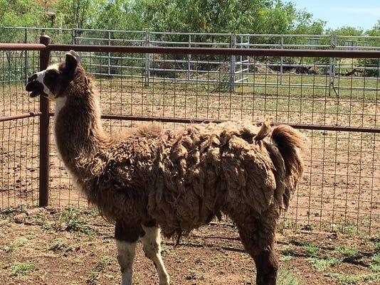 Llama on the loose