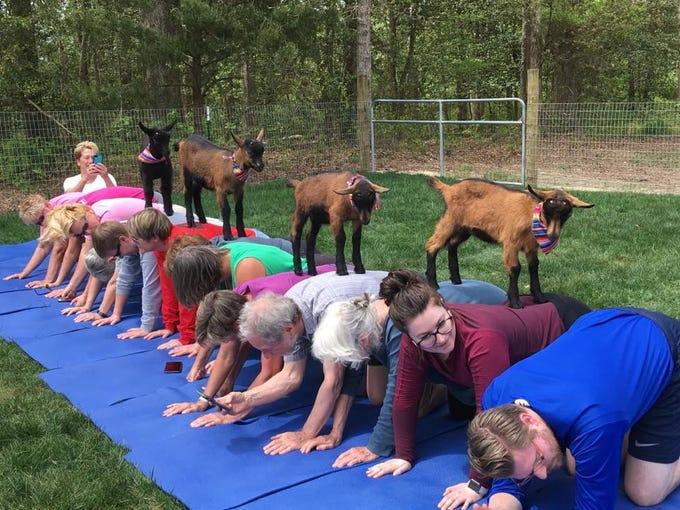 yoga at goat joy
