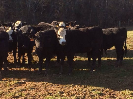Smelcer's Farm keeps 250 head of cattle at all times.