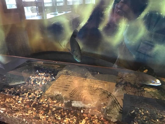 """Elle"" as Suzette Bowling calls her, is now living in an aquarium at the Bull Shoals Dam's Visitors Center."