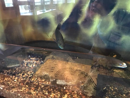 """""""Elle"""" as Suzette Bowling calls her, is now living in an aquarium at the Bull Shoals Dam's Visitors Center."""