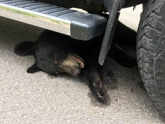 636680395236750641-black-bear-hurt.jpg