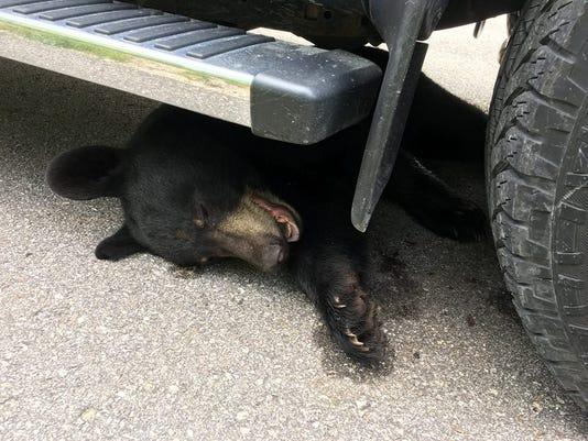 636680395236750641-black-bear-hurt.jpg