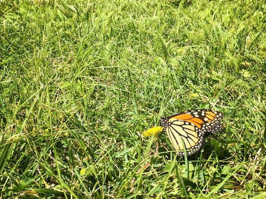 A Monarch Butterfly feeds on pollen. The release of the butterflies is a fund raiser for The Ruidoso Hospice Foundation, a non-profit organization, that provides financial assistance to families in need.