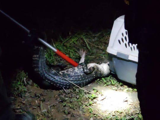 Authorities captured what appeared to be a 4-foot alligator