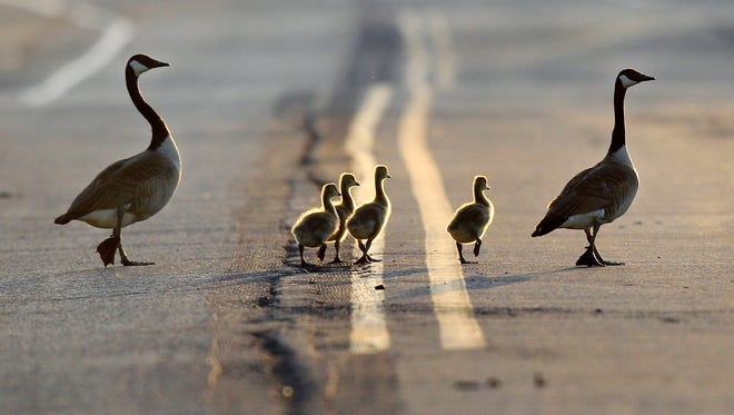 A family of geese cross a road in the evening sunlight in East Rutherford, N.J. in 2012.
