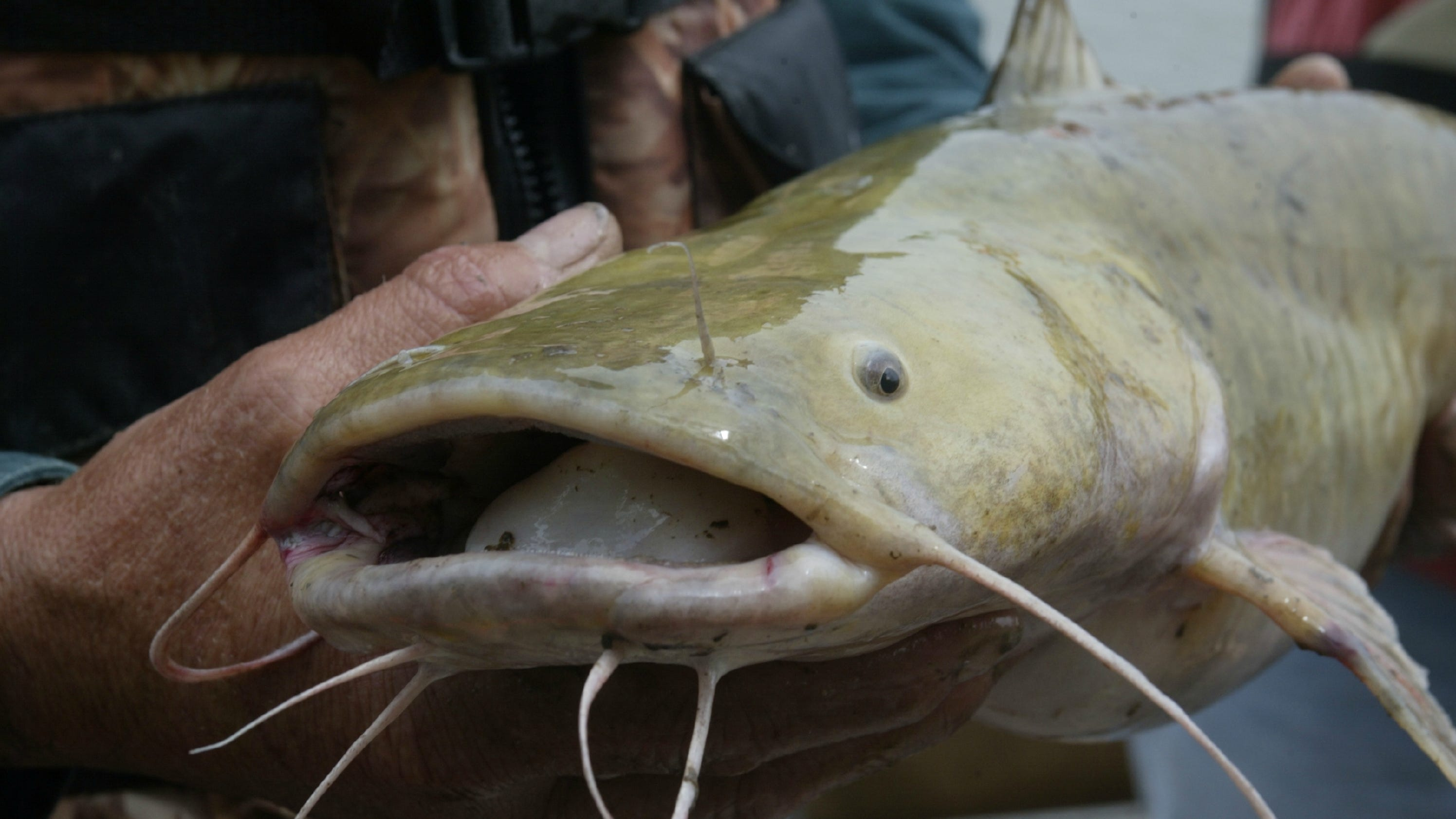 Gl Catfish | Critter Of The Week Flathead Catfish Pylodictis Olivaris