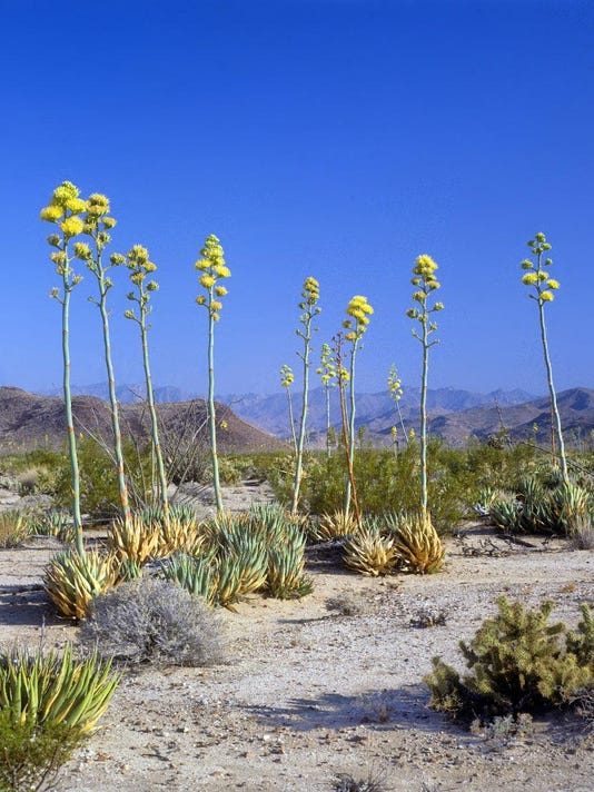 Desert agaves found along Hiwy 74