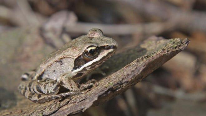 Still Wood Frog
