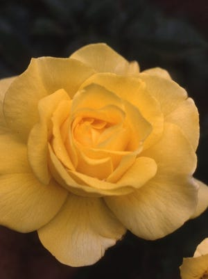 Sunsprite is a medium-size floribunda rose that has repeat bright yellow blooms along with strong sweet fragrance. The attractive glossy foliage enhances the beauty of this Sunsprite selection, introduced in 1973.