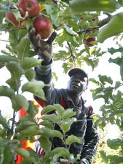 Jamaican worker Hubert Peters picks Jonagold apples from a platform system at Huron Fruit Systems in Wolcott.