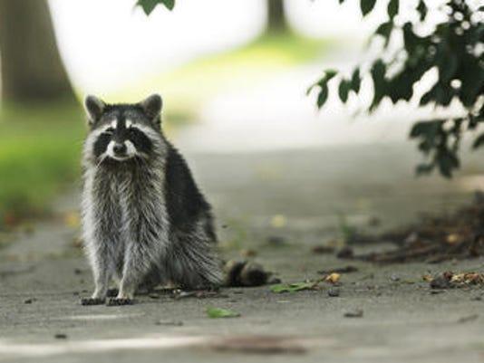 636039227637416954-raccoon.jpg