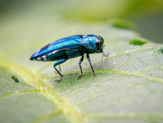 Image of Emerald Ash Borer Beetle on a green leaf.