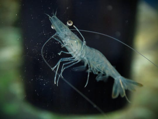 A shrimp swims in a small tank in the front office