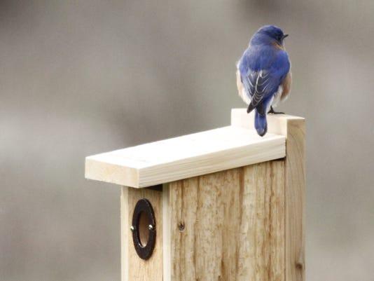 636547168783736615-JW-maie-Bluebird-atop-nesting-bo.JPG
