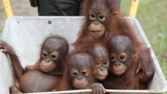 Baby orangutans moving into the new International Animal Rescue centre at Ketapang in Borneo. All the babies have either been saved from a life of being kept in a cage by a wealthy local wanting a trophy pet or found abandoned on an palm oil plantation where they would have been killed plantaion workers. Babies left to right.  Noel, Rocky, Rickina, Tulip and Gunung all are 9 months old.