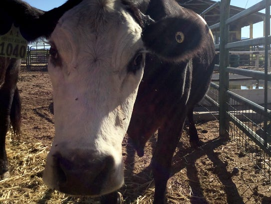 An Aberdeen Angus Hereford cross cow looks into the