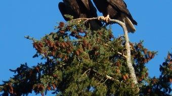 South Kitsap woman shares eagle family's saga of love, loss and new birth