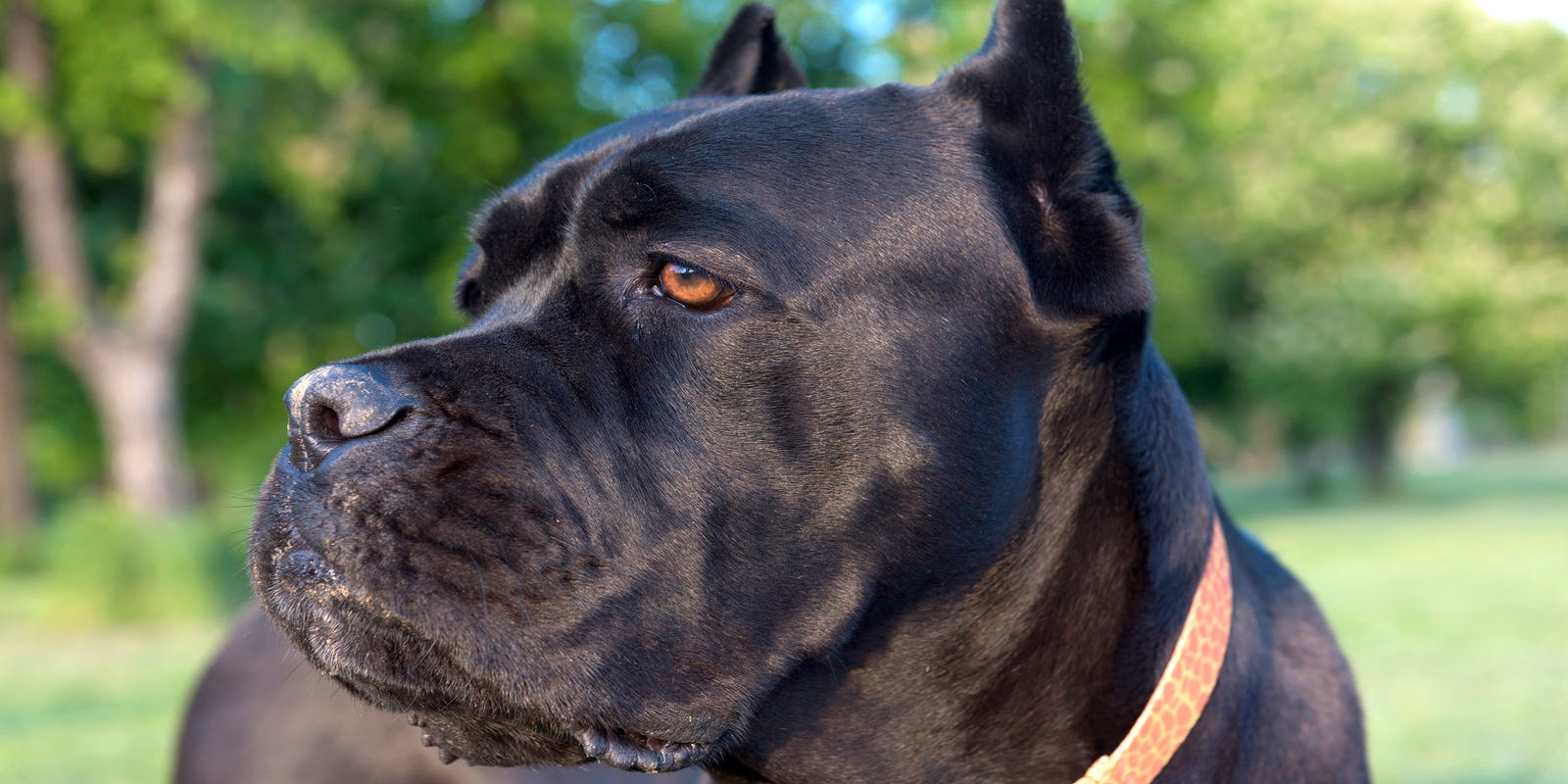 Cane Corso Is Most Searched For Dog Breed In Delaware Study Finds
