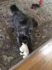 Gracie plays with a toy, which the Pollards give her as part of her behavior training.