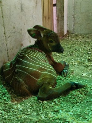 An African bongo was born at Springfield's Dickerson Park Zoo in the early morning hours Thursday.