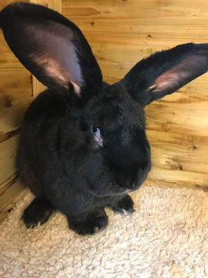 Simon, the 3-foot, 10-month old rabbit that died on a United Airlines flight from London and Chicago.