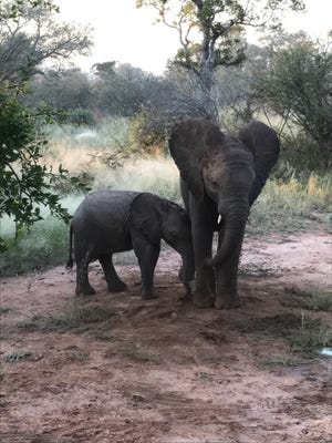 Juvenile elephants frolic on a road in the Sabi Sands Game Reserve in South Africa.