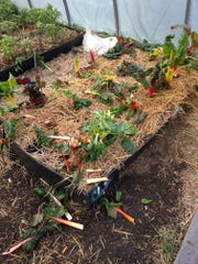 Vandals tore up a bed of swiss chard at the Lexington